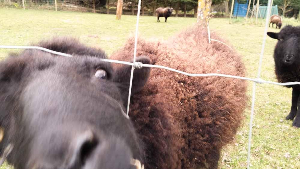 Les moutons sur la propriété